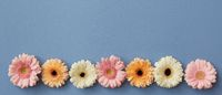 a row of multi-colored buds of gerberas isolated on a blue background