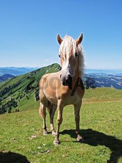 Haflinger Pferd - Ausblick auf den Hochgrat und die Alpenkette