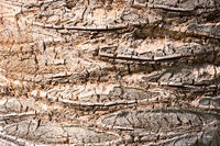 Closeup of a palm trees bark