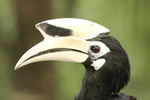 Pied Hornbill - Borneo-Malysia