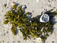 Tangbüschel am Strand, Fucus spiralis