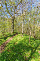 Path through the forest in spring with blooming wood anemones