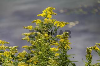 Kanadische Goldrute, Asteraceae (Korbblütler)