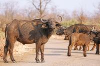 Kaffernbüffel, Syncerus caffer, im Kruger Nationalpark, Südafrika, South Africa, African buffalo