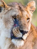 Lioness potrait with scare on her face