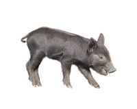 Wild black piglet