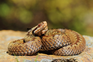 european crossed common viper basking on rock ( Vipera berus )