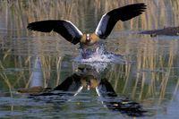 Nilgans landet auf dem Wasser
