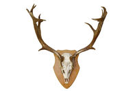 fallow deer stag hunting trophy isolated over white background for your design ( Dama )