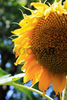 sonnenblume, blütendetail