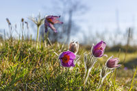 Flowering Pasque flowers in early spring
