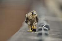 der Wanderer... Wanderfalke *Falco peregrinus* spaziert über Dachsims entlang einem Blitzableiter