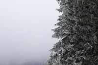 Frozen branches of spruce tree in winter snowy forest and sky in fog