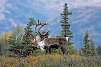 Karibu / Alaska-Karibu / Rentier / Karibubulle / Rangifer tarandus granti / Bastreste / Geweih fegen
