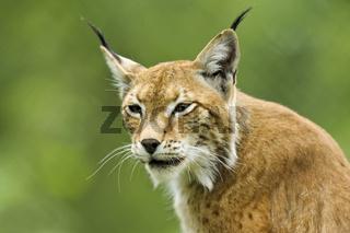 Luchs-(Lynx-Iynx)12.jpg