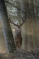 im Licht... Rothirsch *Cervus elaphus*, stattlicher Rothirsch, wie im Märchenwald