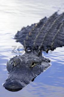 Mississippi-Alligator - Alligator mississippiensis - American Alligator