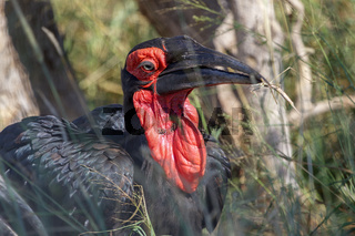 a groung hornbill in the Kruger National Park South Africa