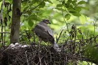 heimlich lebender Brutvogel des Waldes... Sperber *Accipiter nisus*