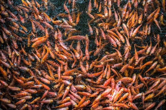 School of goldfishes, Madu Ganga, Sri Lanka