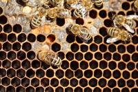 Honigbienen versorgen Brut