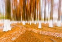 yellow metasequoia woods