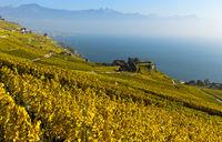 Weinberge im goldgelben Herbstlaub über dem Genfersee