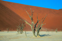 Dried trees among the giant sand dunes