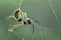 Wespe im Spinnennetz