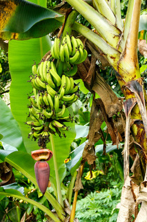 Bananas growing in the jungle on Taveuni Island, Fiji