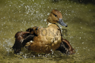 Gelbe Pfeifgans, Dendrocygna bicolor, Fulvous Whistling Duck