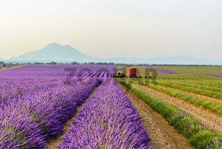 harvesting lavender field, Provence