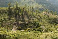 Grupper junger Kiefer Bäume in Natur