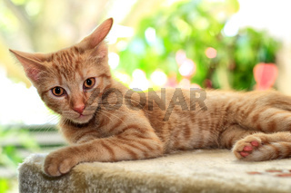 Europäisch-Kurzhaar Katze