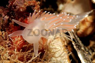 Coryphella verrucosa, Rotrueckige Fadenschnecke, Flabellina verrucosa, Red Gilled Nudibranch