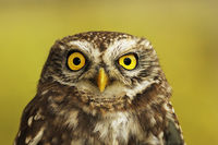 portrait of little owl over green out of focus background ( Athene noctua )