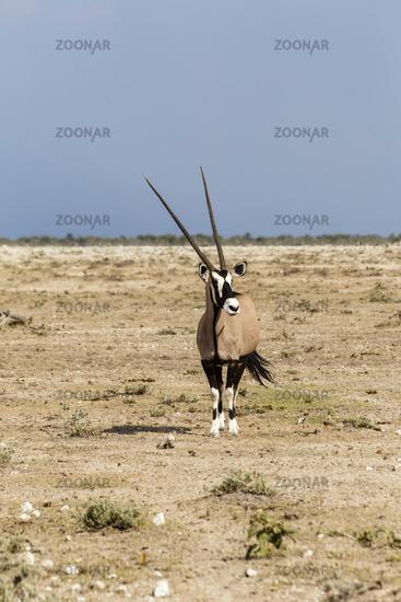 Gemsbock oder Oryx, Gemsbok or Oryx