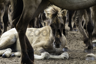 Fohlen sicher in der Herde, wild lebende Pferde im Merfelder Bruch, Dülmen, Nordrhein-Westfalen, Juni,