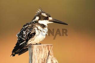Pied Kingfisher-Graufischer