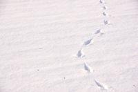 animal footprint in the snow