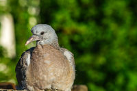 pigeon in forest