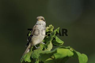 Jungvogel... Neuntöter *Lanius collurio*