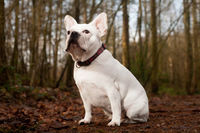 Franse buldog sitting in the forest