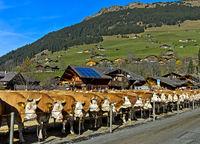 Simmentaler Kühe an einer Viehschau, Lauenen, Kanton Bern, Schweiz