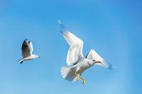 Photo depicting of a seagull in flight