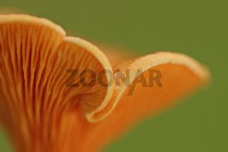 Falscher Pfifferling (Hygrophoropsis aurantiaca)