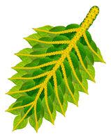 Christmas  Holly green leaf