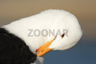 Cape Gull-standing-South Africa