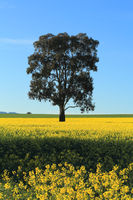Canola field in rural Australia