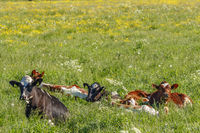 Calves that are resting on a summer meadow